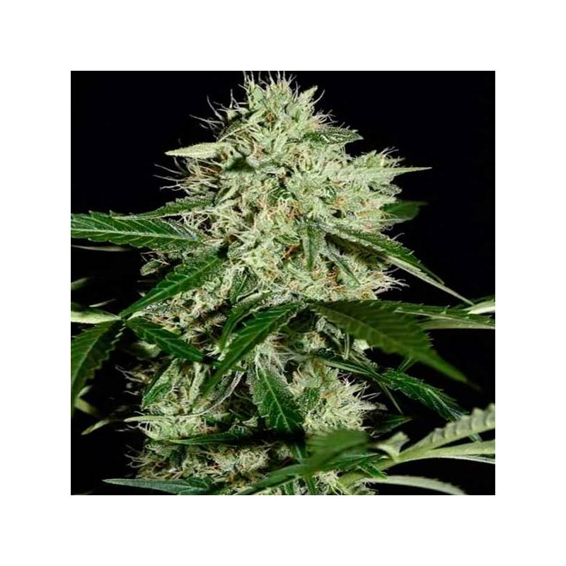 Auto northern lights autofloreciente biological seeds for Autofloreciente interior