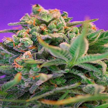 Sweet Cheese F1 Fast Version SWEET SEEDS