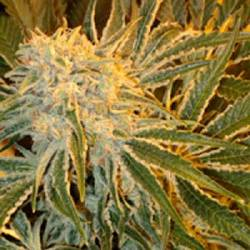 Northern Lights N9 Feminizada