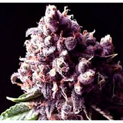 Purple Pinecone Feminizada