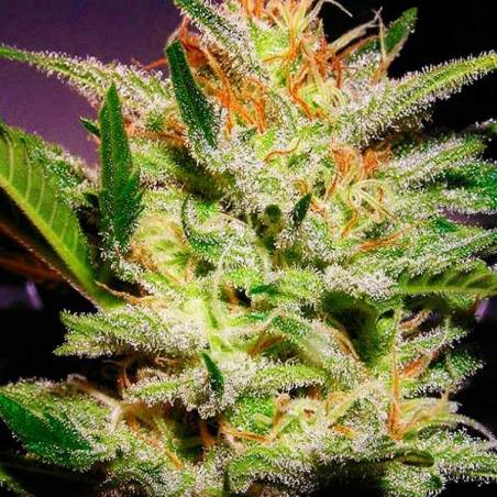 Amnesia haze autofloreciente biological seeds semillas for Autofloreciente interior