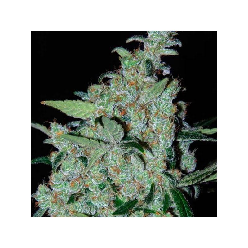 Purple Mexican Feminizada - 1 ud fem