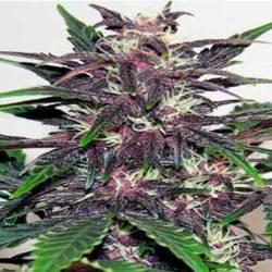 Dark Purple Autofloreciente...