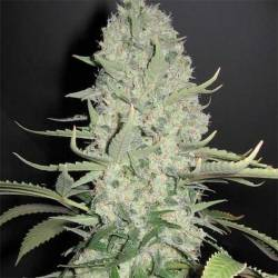 White Widow Feminizada (a...