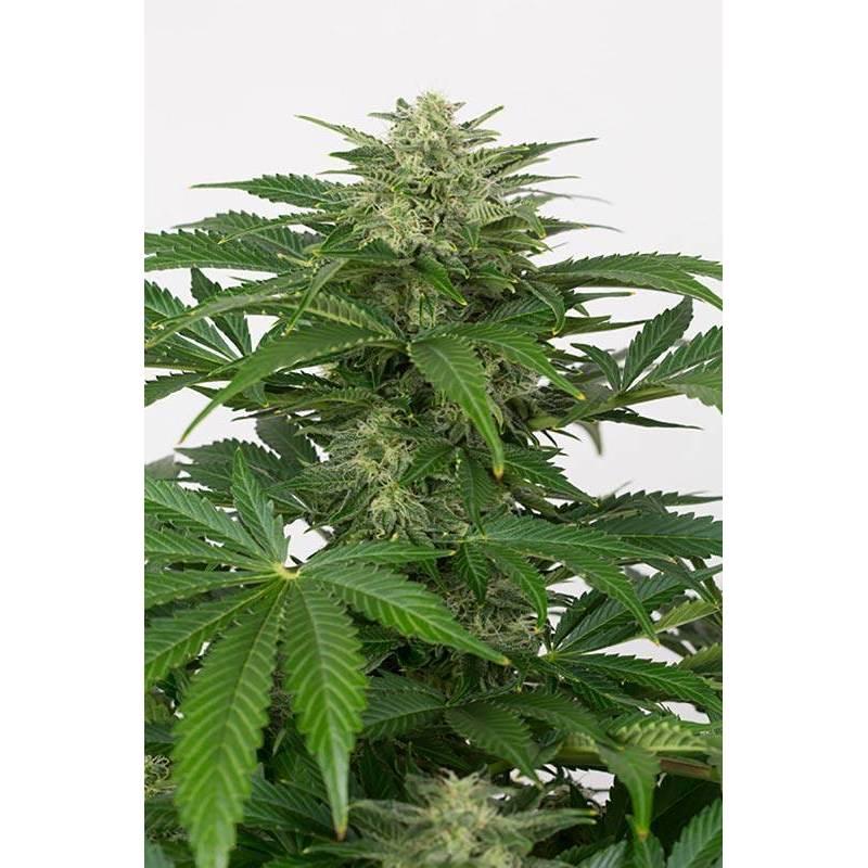Haze CBD Autofloreciente Feminizada - 1 ud auto-fem