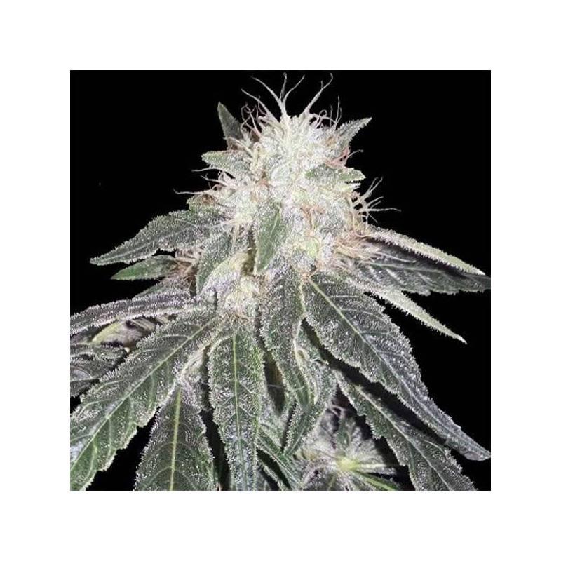 Black Domina 98 x Erdpurt Feminizada de Ace Seeds