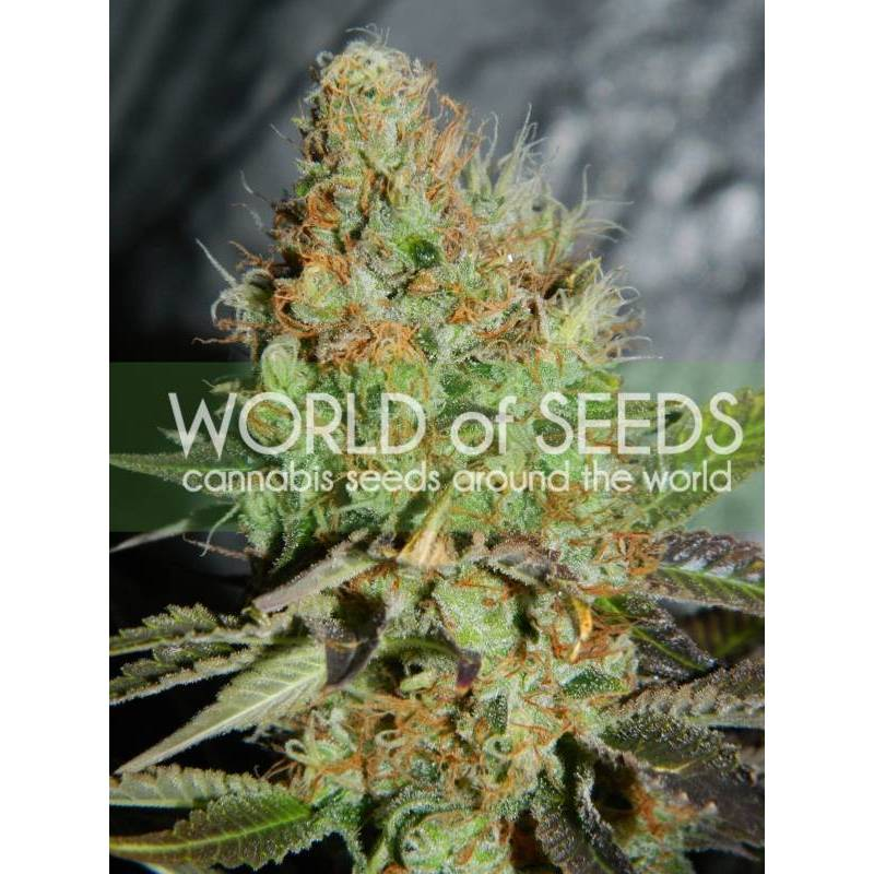 Afghan Kush Special (Legend Collection) Feminizada - 3 uds fem