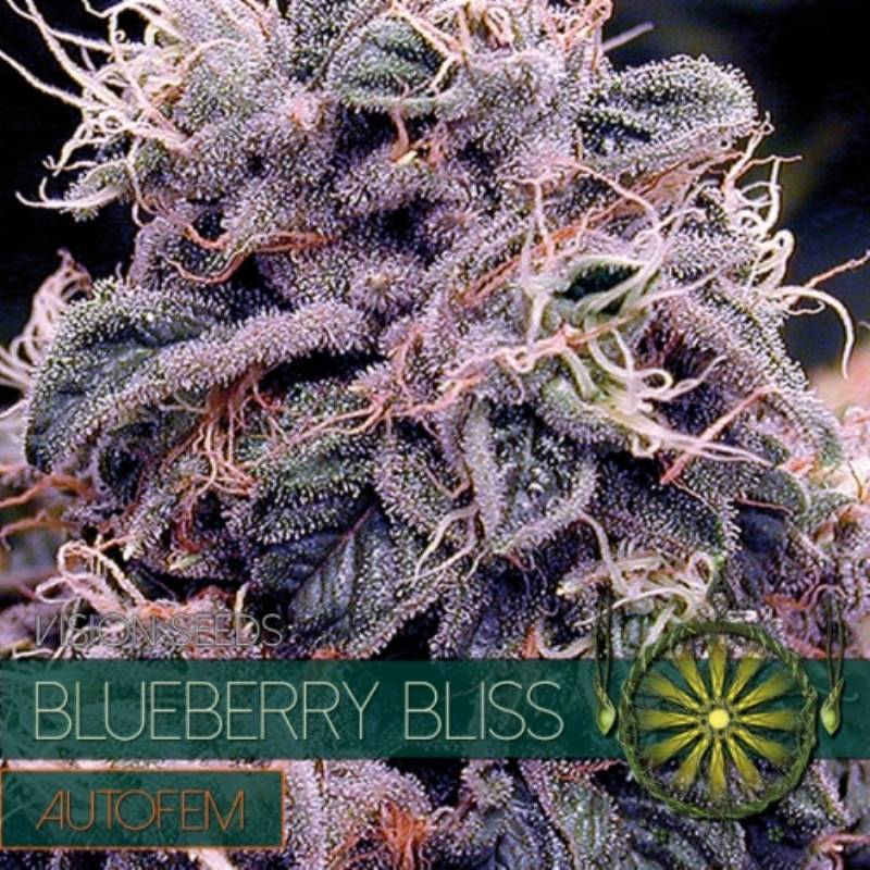 Blueberry Bliss Autofloreciente Feminizada - 5 uds auto-fem