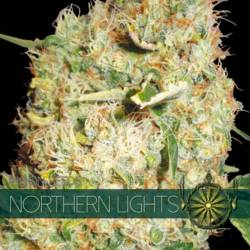 Northern Lights Feminizada