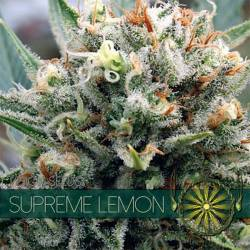 Supreme Lemon Feminizada
