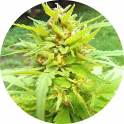 Golden Cannary Regular de Top Tao Seeds