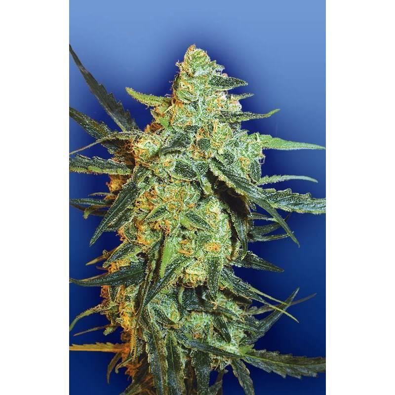 Blueberry Skunk Feminizada - 10 uds fem
