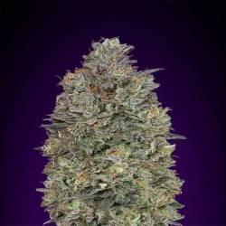 Critical Purple Kush...
