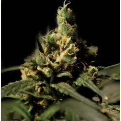 Citral Skunk Feminizada