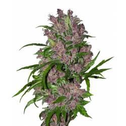 Purple Bud Autofloreciente Feminizada
