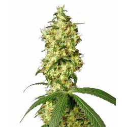 White Widow Autofloreciente Feminizada