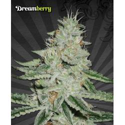 Dreamberry Auto Seeds