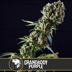 GRANDADDY PURPLE - Imagen 1