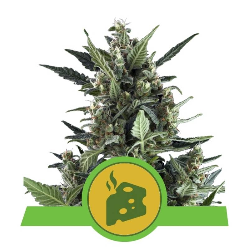 BLUE CHEESE AUTOMATIC - Imagen 1