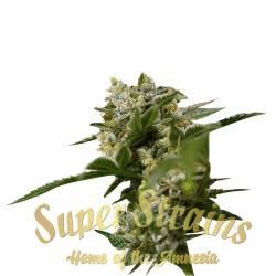 IBIZA FARMER'S Feminizada - Imagen 1