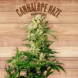 CANNALOPE HAZE - Imagen 1