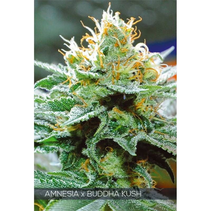 AMNESIA X BUDDHA KUSH - Imagen 1