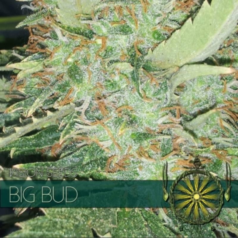 BIG BUD Feminizada (ETIQUETA FRANCESA) - Imagen 1