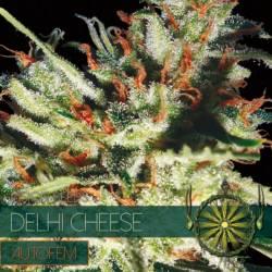 DELHI CHEESE Autofloreciente Feminizada (ETIQUETA FRANCESA) - Imagen 1