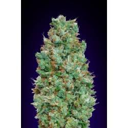 Blueberry Autofloreciente Feminizada - Matillaplant