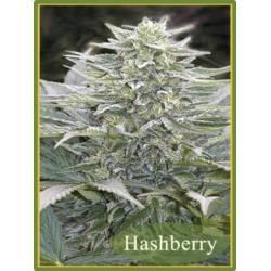 Hashberry Regular