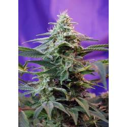 Sweet Special F1 Fast Version SWEET SEEDS