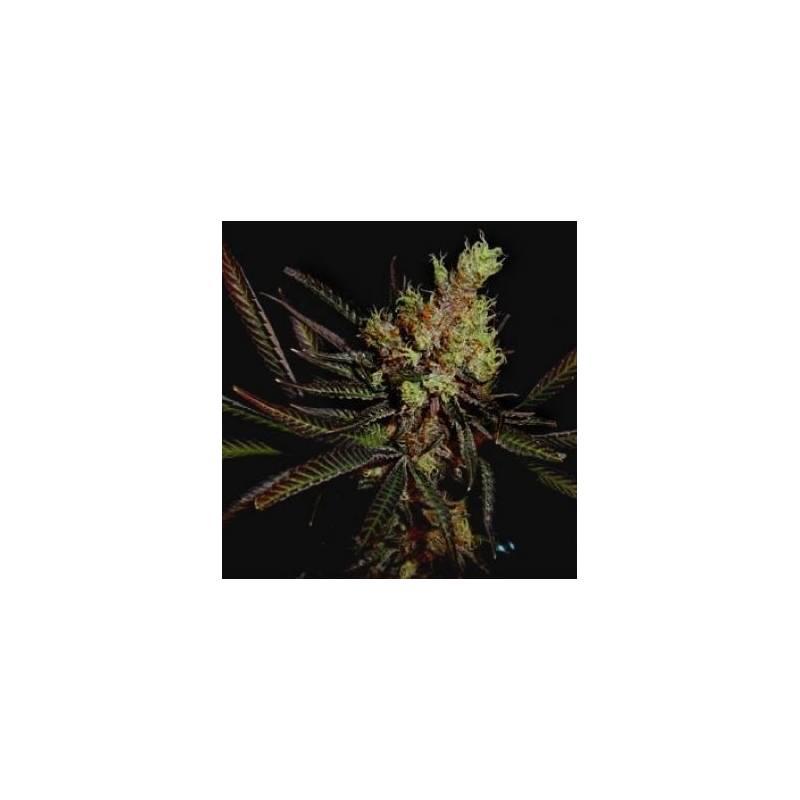 Amethyst Bud Regular - 5 uds regu