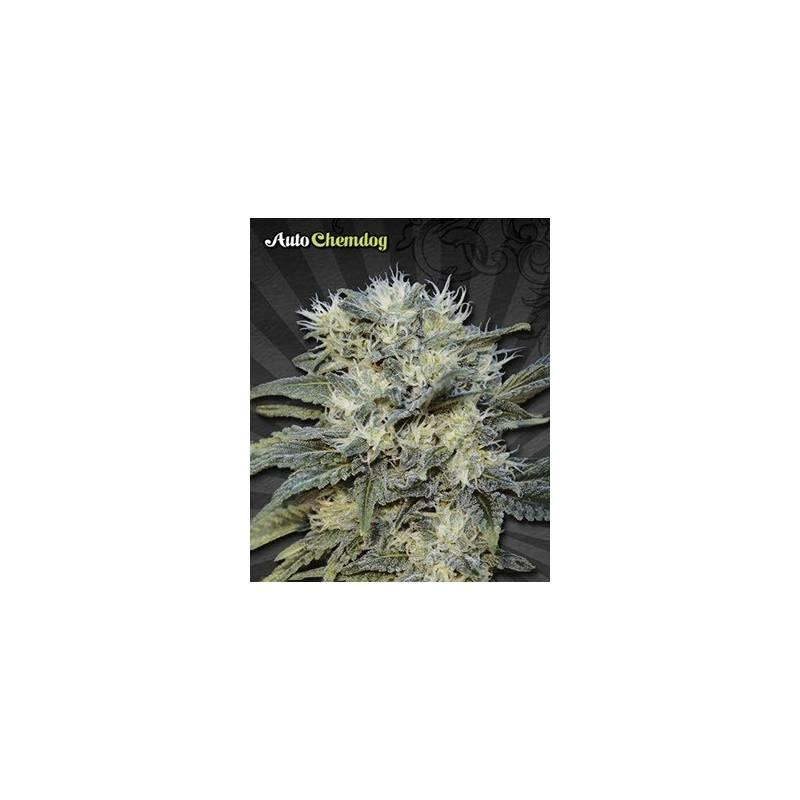 Chemdog Autofloreciente Feminizada - 3 uds auto-fem