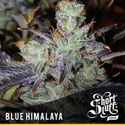 Blue Himalaya Feminizada