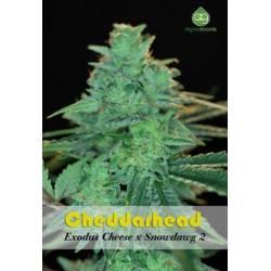 Cheddarhead Regular
