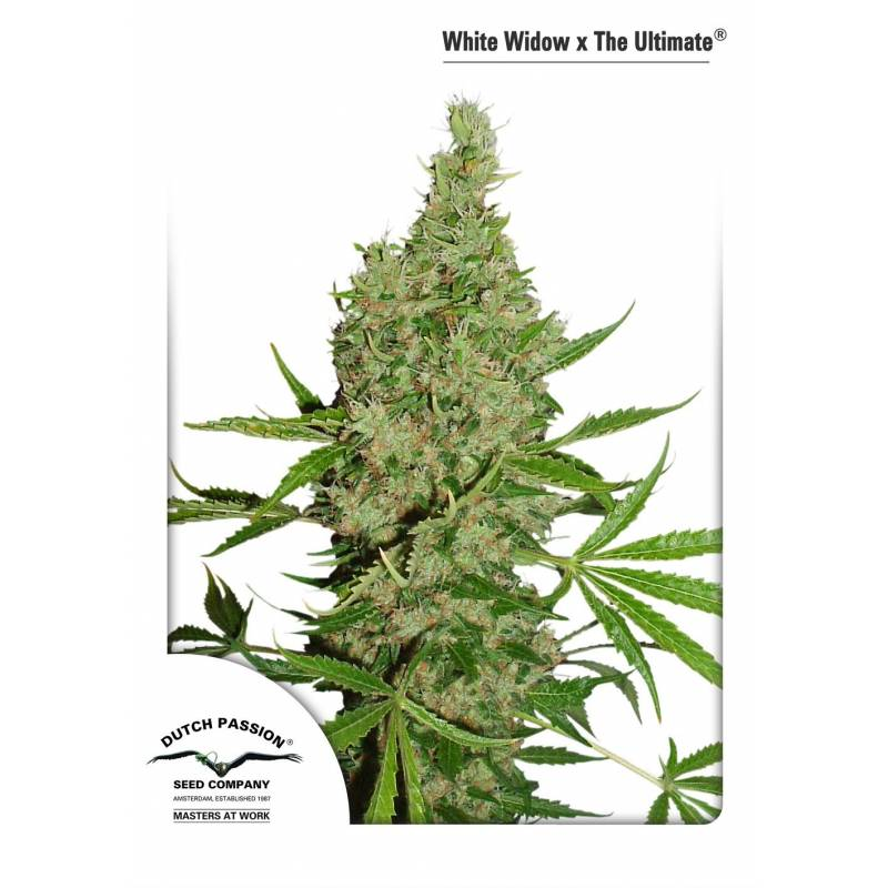 White Widow x the Ultimate DUTCH PASSION REG.