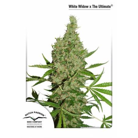 White Widow x the Ultimate DUTCH PASSION REG.