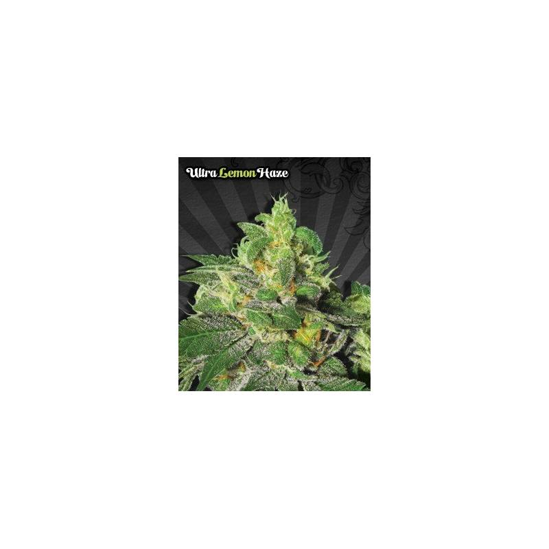 Ultra lemon haze auto seeds autofloreciente semilla for Autofloreciente interior