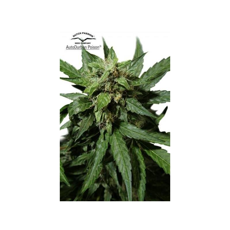 Durban Poison Autofloreciente Feminizada - 3 uds fem