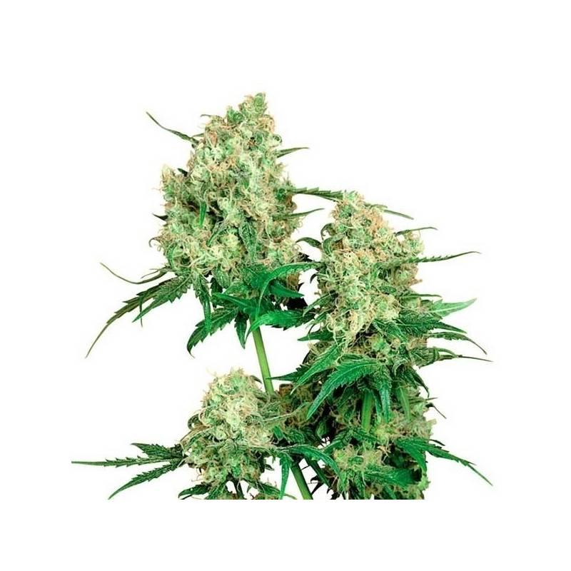 Maple Leaf Indica Regular - 10 uds regu
