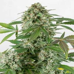 Auto White Widow Autofloreciente