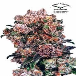 Blueberry Regular