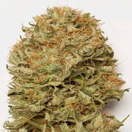 Blue Dream Autofloreciente