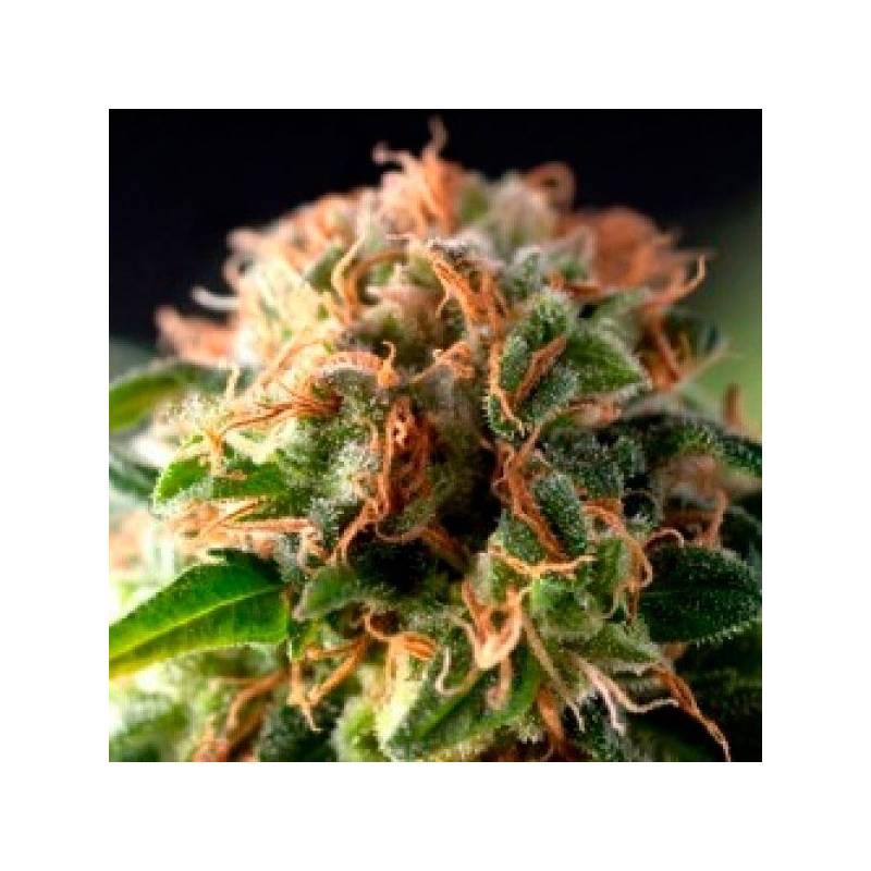 Fresh Candy Autofloreciente Feminizada - 1 ud auto-fem