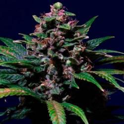 Sweet Purple