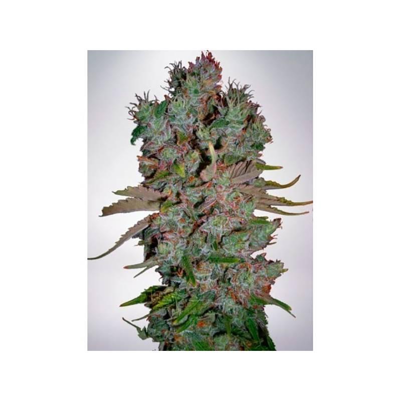 Blueberry Domina Autofloreciente Feminizada - 2 uds auto-fem