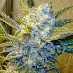 Blue Mystic Feminizada