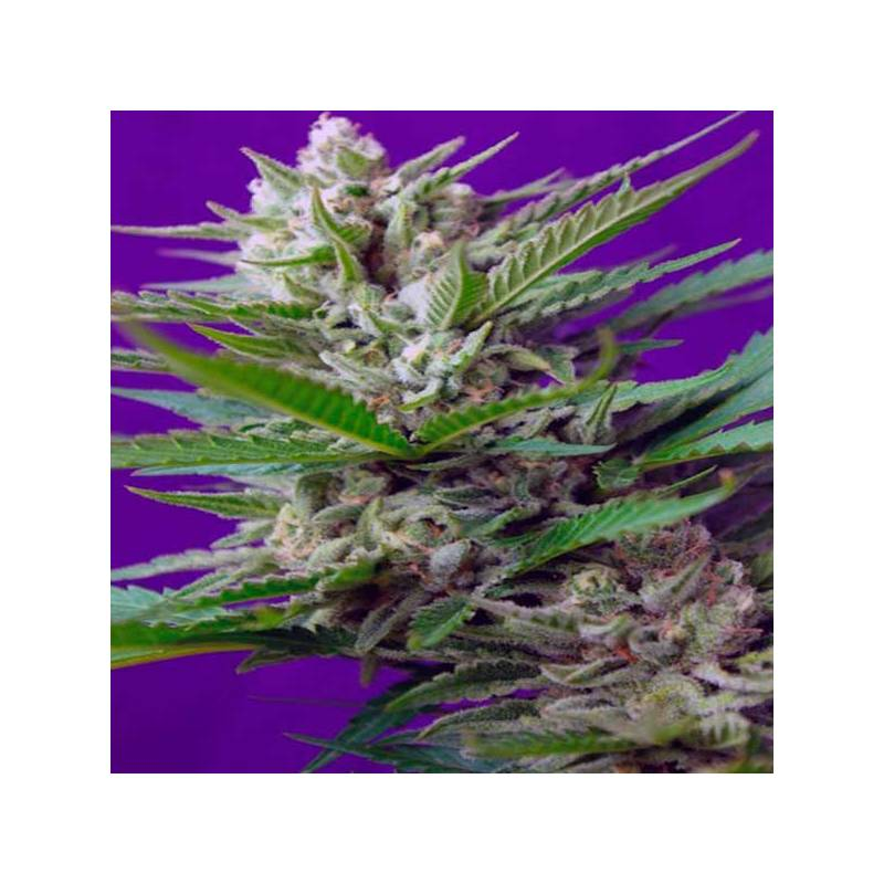 Speed auto sweet seeds semilla autofloreciente for Autofloreciente interior