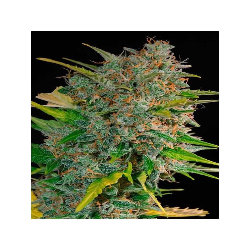 Cream Mandarine Autofloreciente