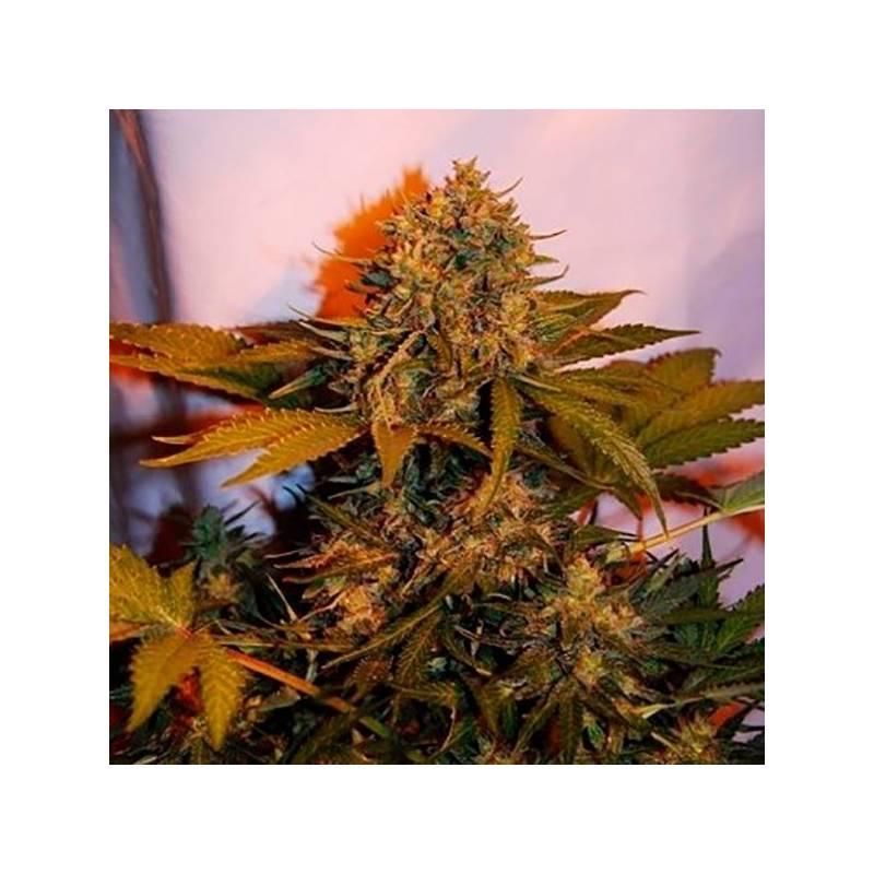 Big Bud Autofloreciente Feminizada - 5 uds auto-fem